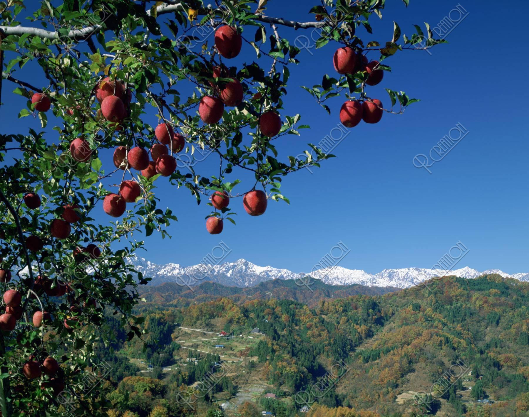 北アルプスとリンゴ(ふじ)