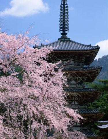 醍醐寺 五重塔と桜 世界遺産