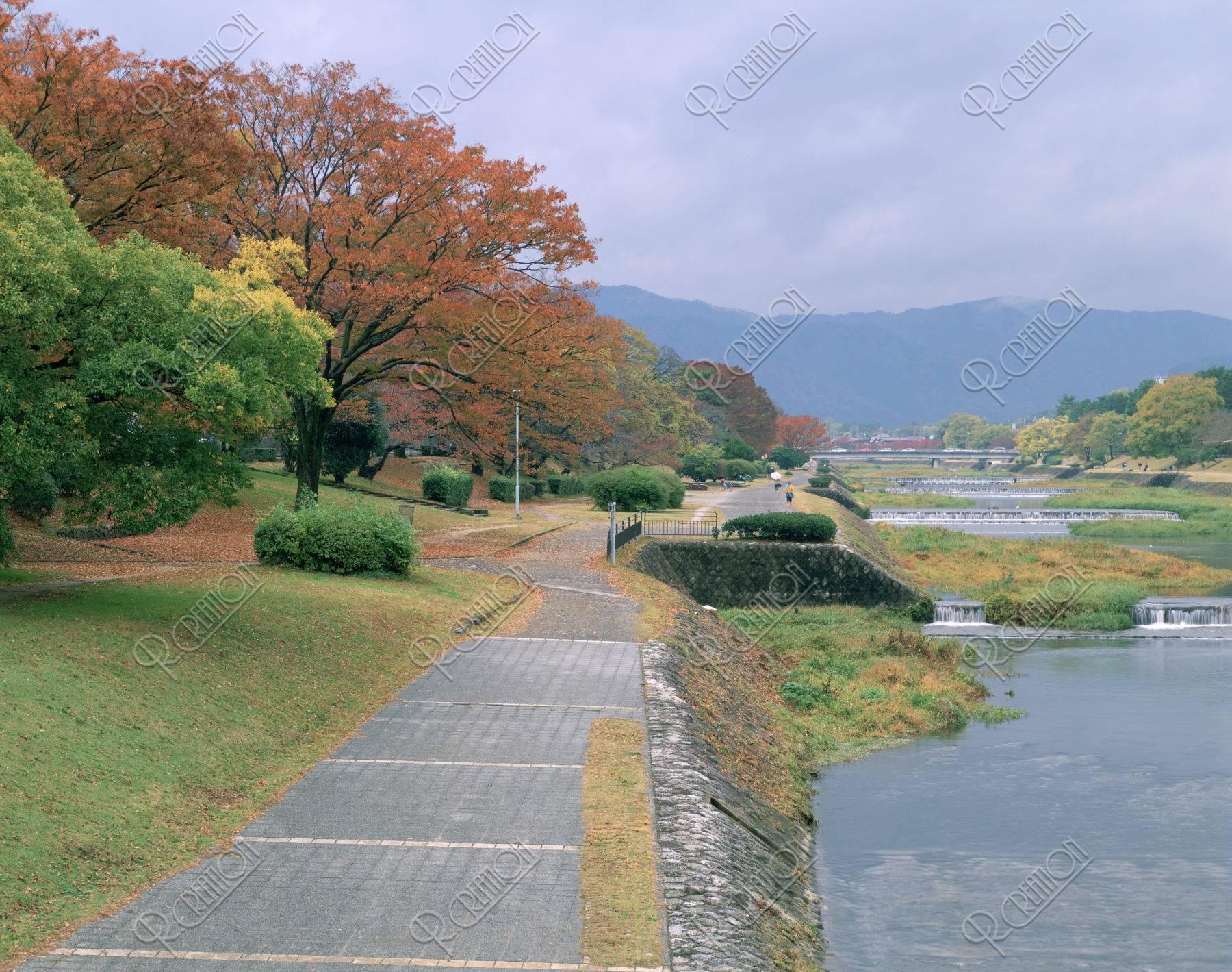 賀茂川 紅葉 並木