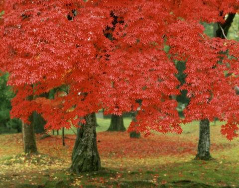 赤色 紅葉 樹 仁和寺