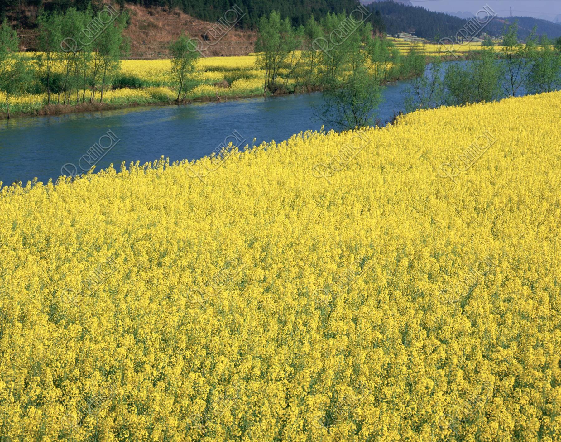 春 小川 菜の花畑