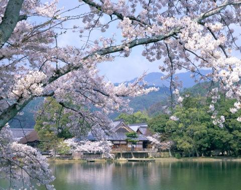 大沢池 大覚寺と桜