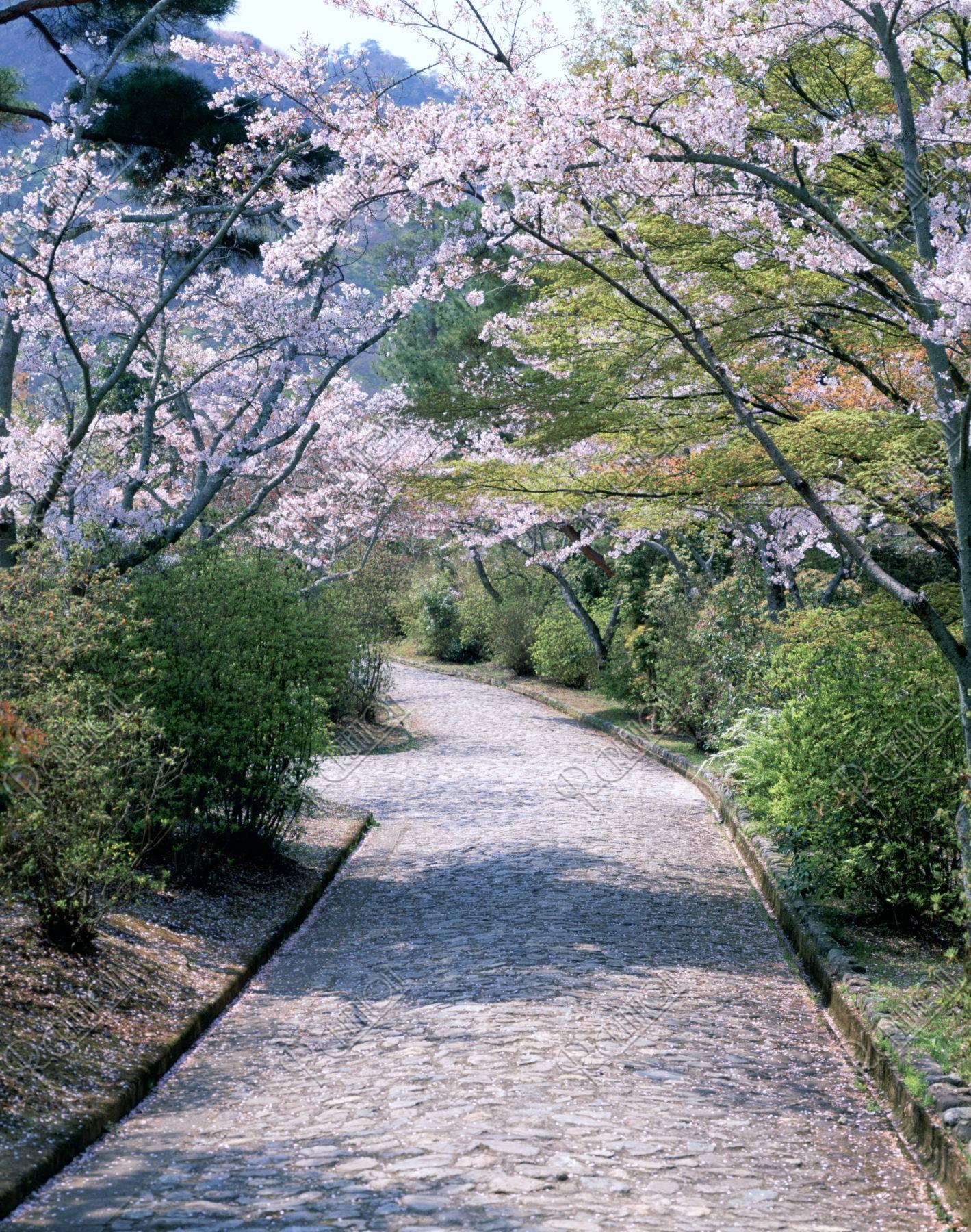 嵐山亀山公園の道と桜