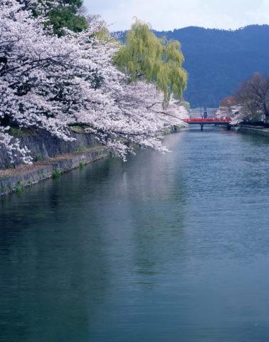 岡崎 疎水と桜