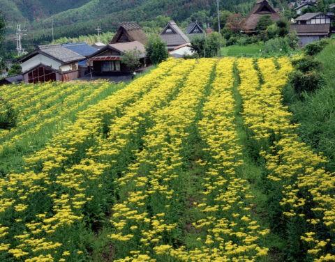 オミナエシと越畑の山村