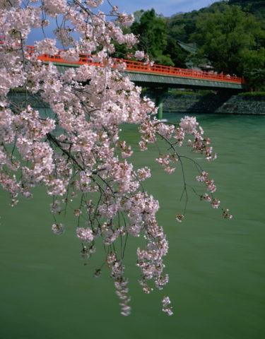 宇治川 朝霧橋と桜