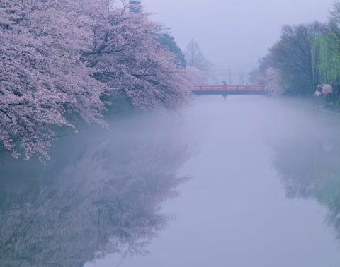 岡崎 疎水の桜