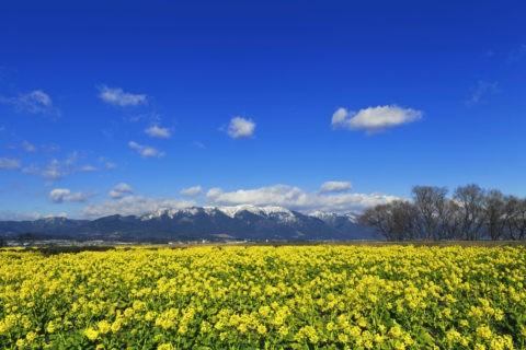 菜の花と比良山