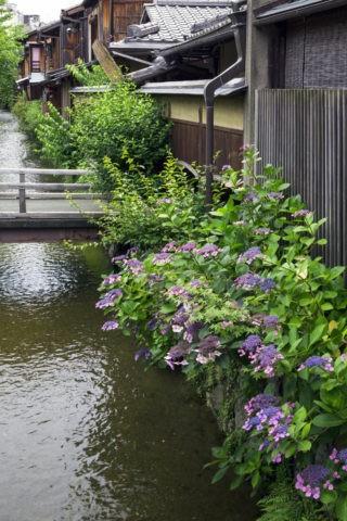 祇園 白川と紫陽花