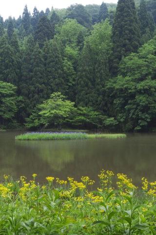 平池 カキツバタ