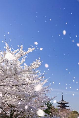 八坂の塔と桜吹雪