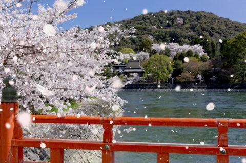 宇治川と桜吹雪