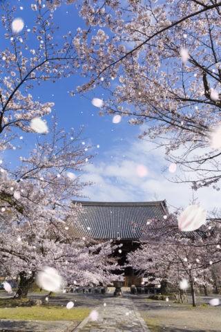 立本寺と桜吹雪
