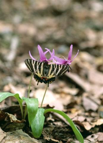 ギフチョウ雌 カタクリ