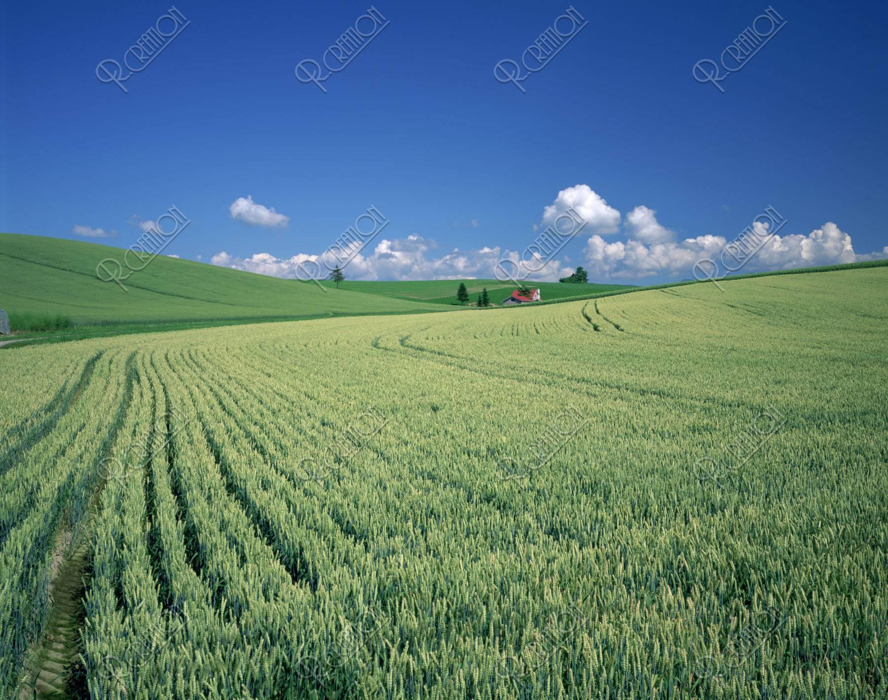 麦畑と赤い家