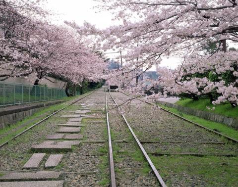 岡崎インクラインの桜