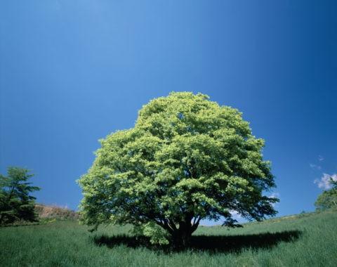 新緑の大樹