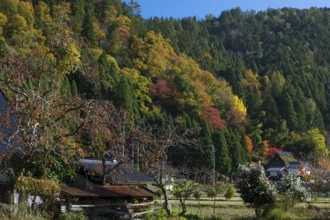 柿の木と茅葺きの家