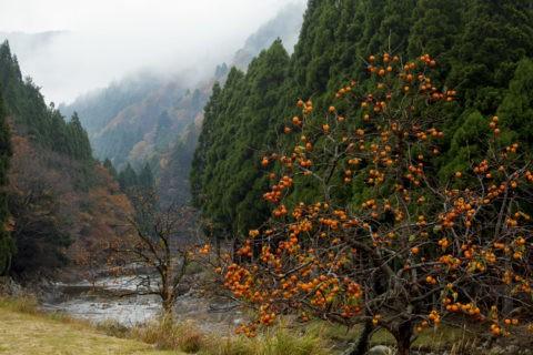 柿の木と針畑川