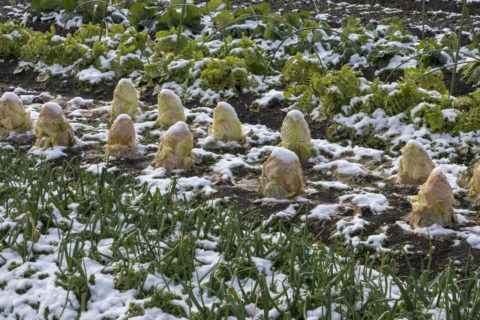 雪中野菜 白菜