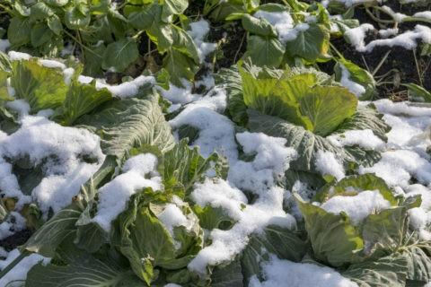 雪中野菜 キャベツ