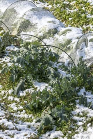 雪中野菜 大根