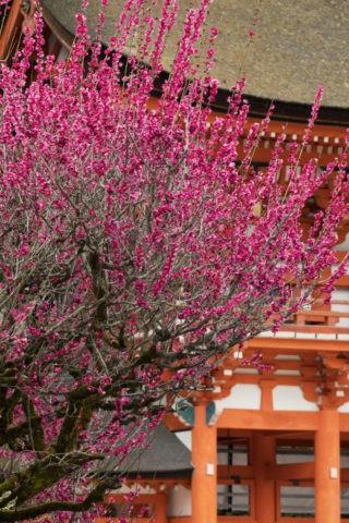 下鴨神社 紅梅と楼門
