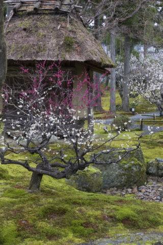 しょうざんの庭 梅