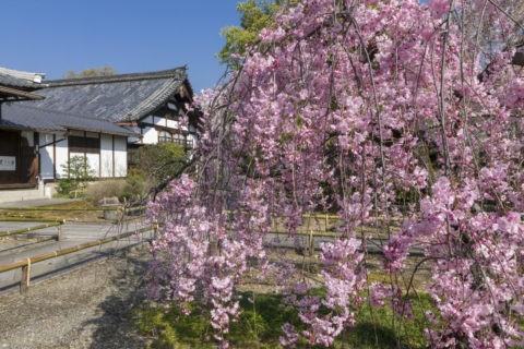 上品蓮台寺 桜
