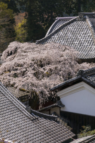 十輪寺 桜