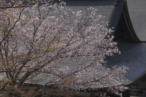 神護寺の桜