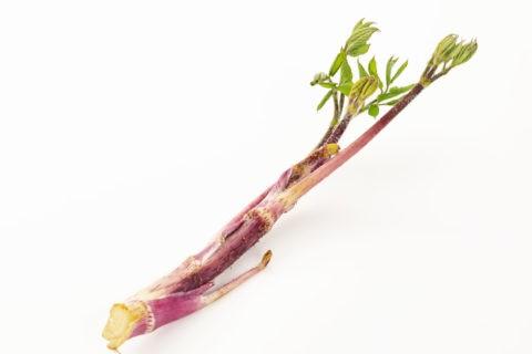 春の山菜 ウド