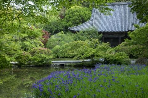 長岳寺 カキツバタ