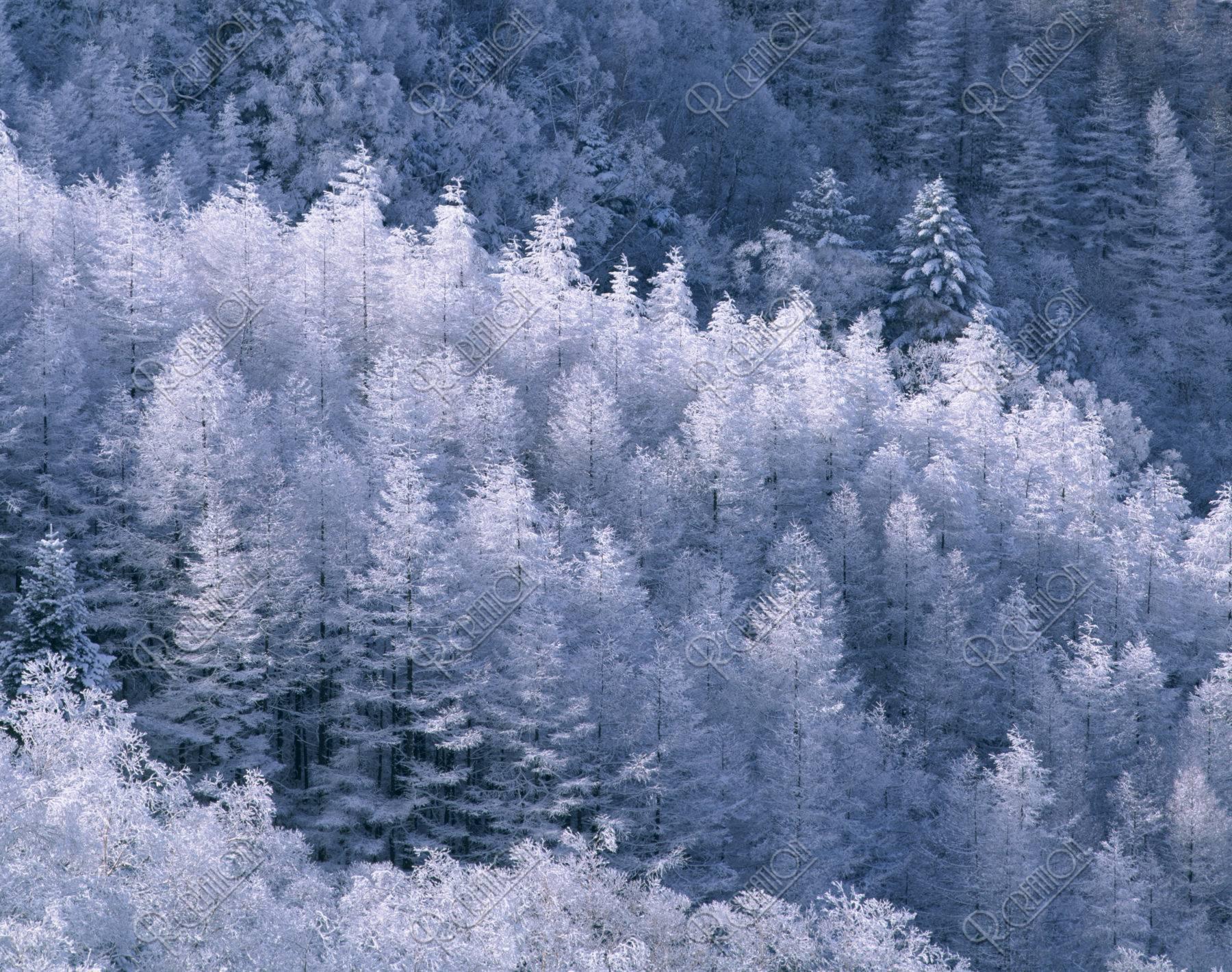 霧氷の樹々