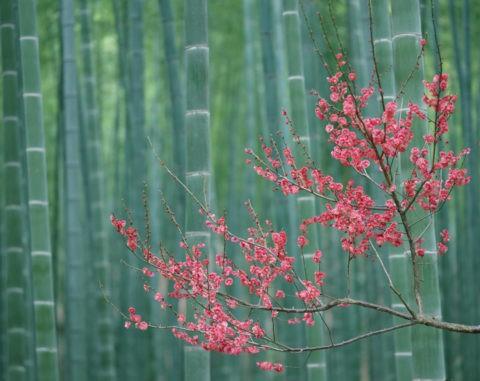 竹林と紅梅