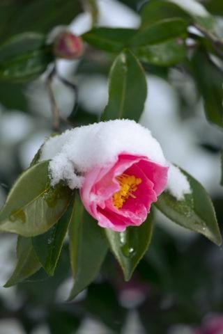 雪被る山茶花