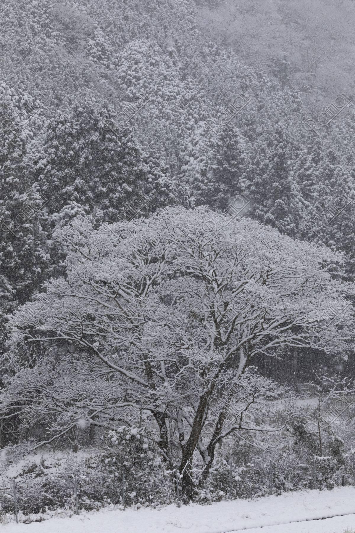 モノトーンの着雪の木