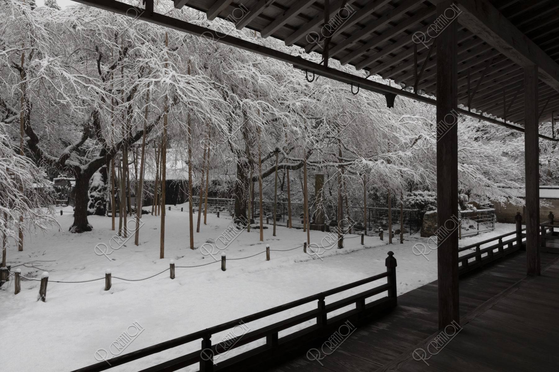 常照皇寺 左近の桜 九重桜 雪景色
