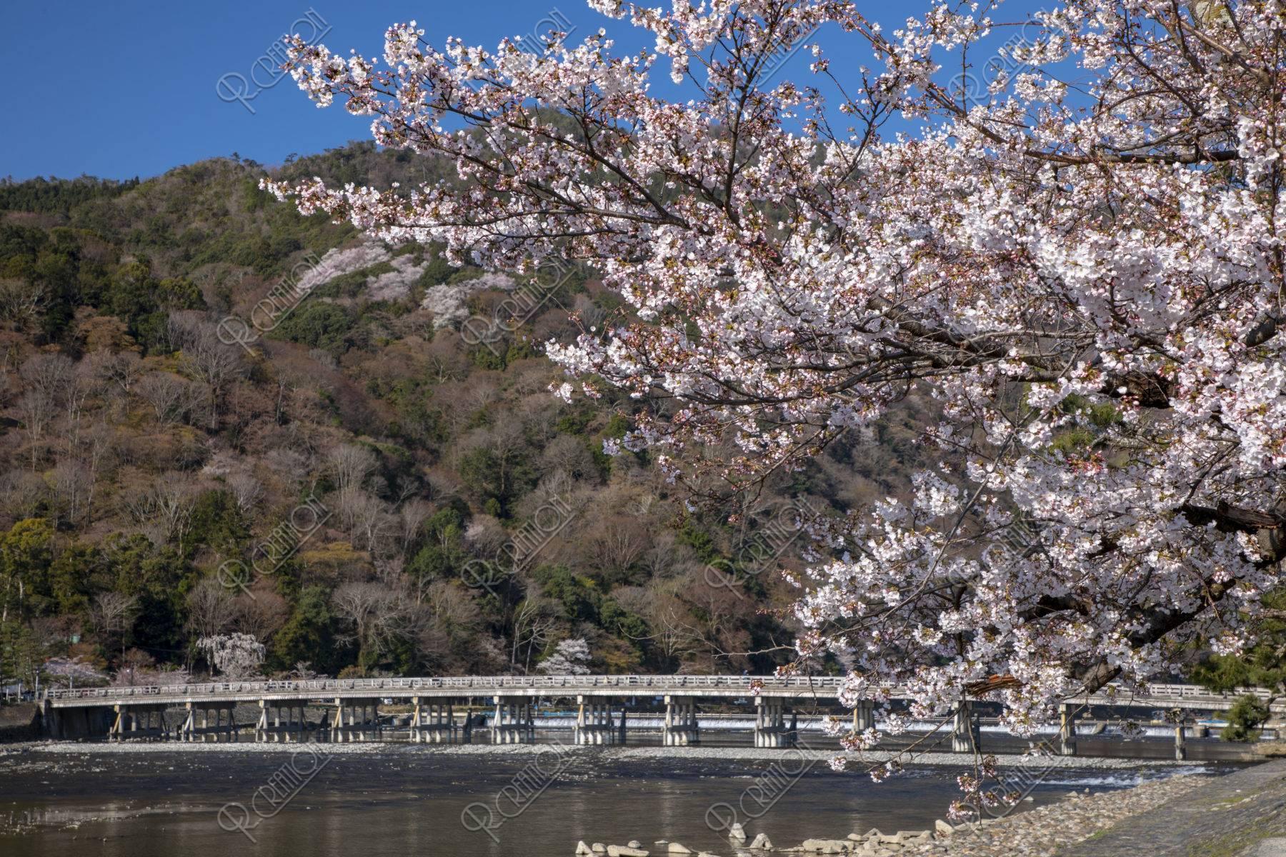嵐山渡月橋と桜