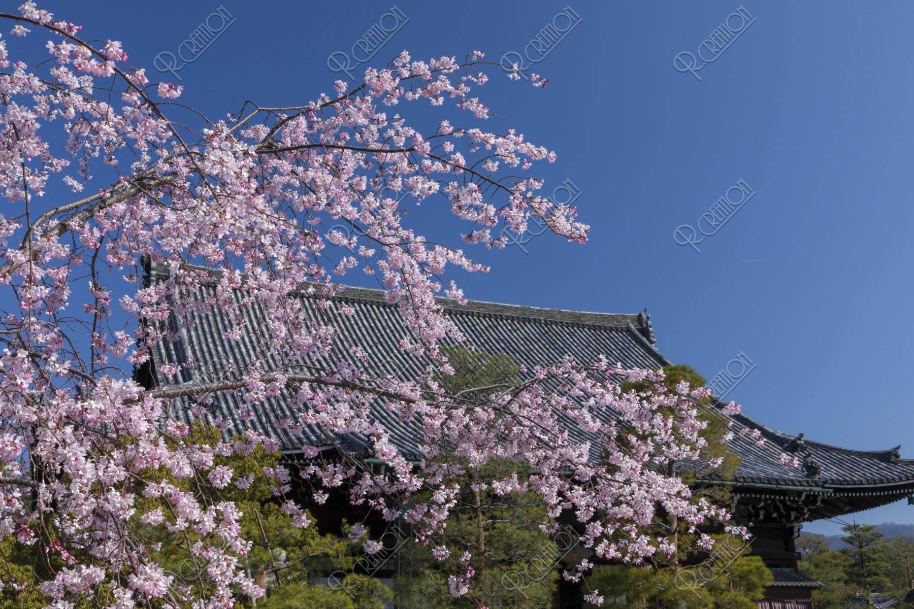 清凉寺本堂と桜