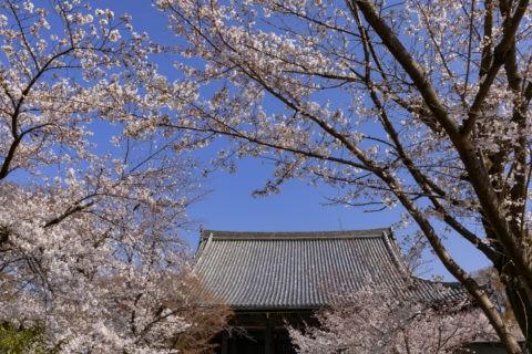 立本寺と桜