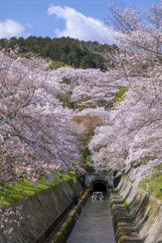 びわ湖疏水船と桜並木