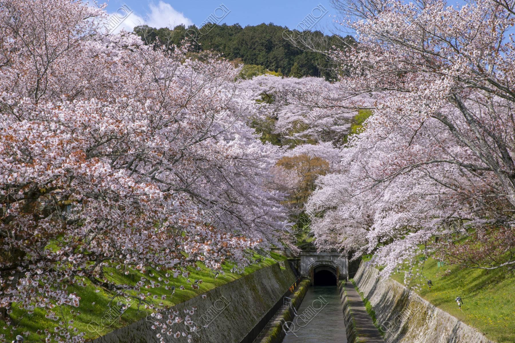 びわ湖疏水と桜並木