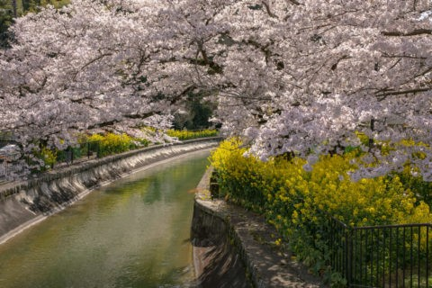 琵琶湖疎水と桜並木