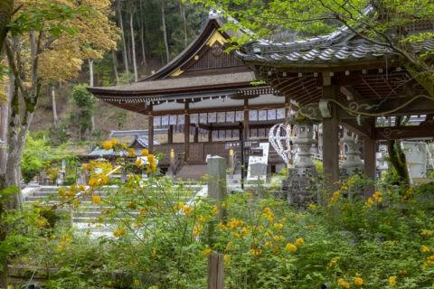 松尾大社 ヤマブキ