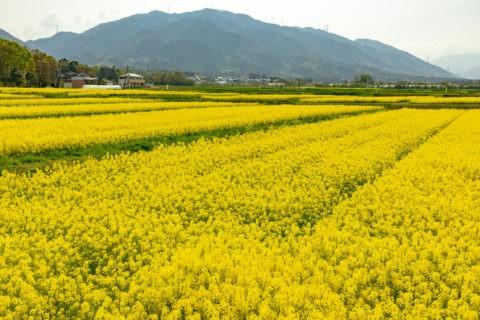 下中野町 菜の花畑