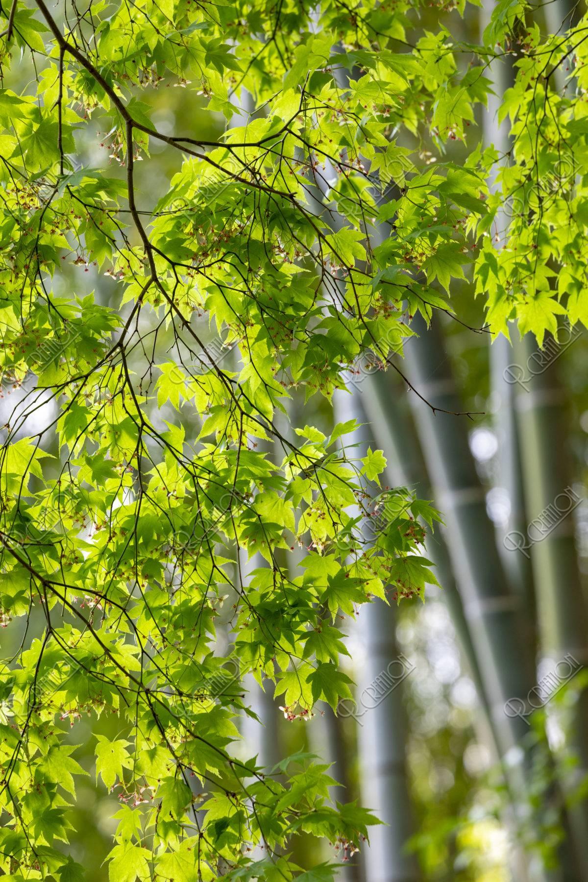 竹と青紅葉