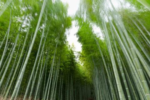揺れる竹林