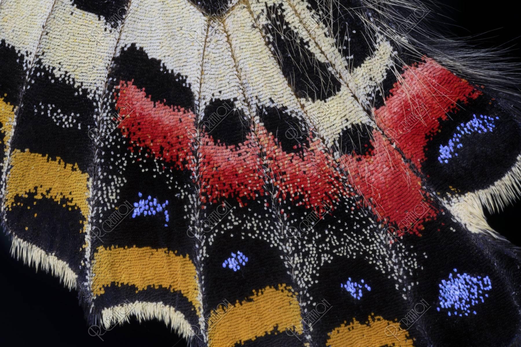 蝶の羽根 ギフチョウ