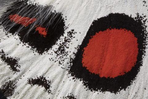 蝶の羽根 オオアカボシウスバアゲハ